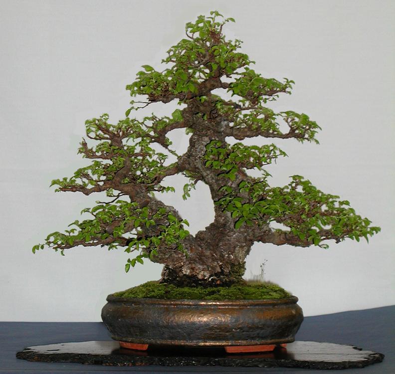 Evergreen Gardenworks Descriptive Catalog Ulmus Wisteria Zelkova