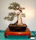 Juniperus occidentalis