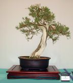 Juniperus californica'