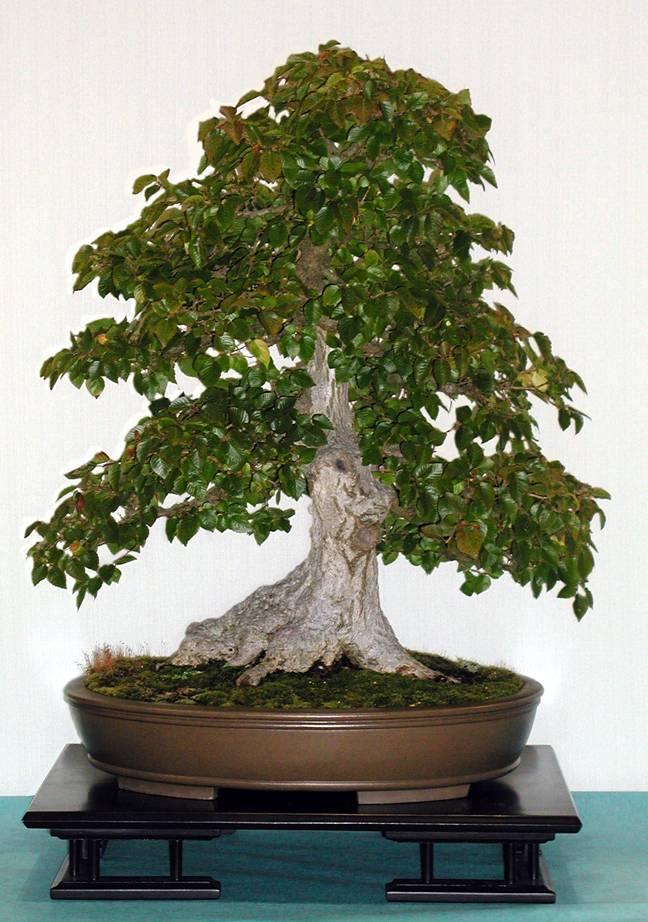 Evergreen Gardenworks Descriptive Catalog Carpinus Cedrus Chaenomeles