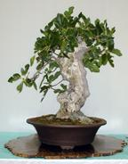 Ficus carrica 'Mission'