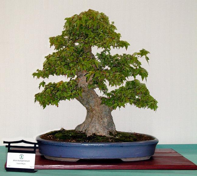 Evergreen Gardenworks Catalog Acer